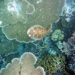 Corail tabulaire et tortue (récif de Makunudu)