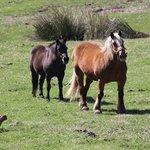 les chevaux qui se promènent autour de l'auberge