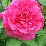 Trauttmansdorff: A Giant Rose