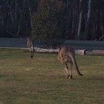 Kangaroos happy to wander around