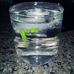Mint water every night