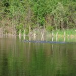 White-spotted little ducks on Tuddle Lake, shot from the included canoe.