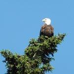 Bald Eagle bending the treetop.