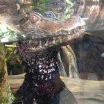 Baby alligator...