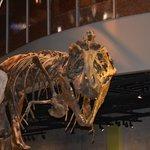 A dinosaur skeleton on display