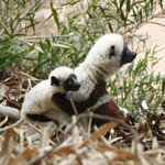 Coquerel's Sifaka with baby.
