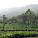 Tea gardens  in front