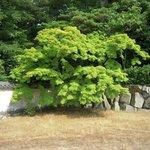 お寺の塀際の美しい木