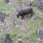 ケーブルカーから牛が放牧されているのが見えました。