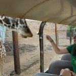 Bush tour - feeding the giraffe