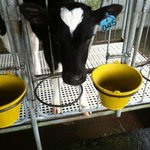 the cow with a heart on her head