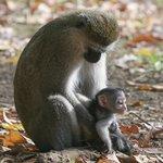 Mother and baby vervet monkeys