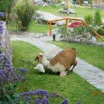 Llamas again