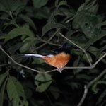 White-crowned Sharma spotted on our night drive.