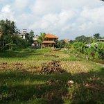 rice field next door