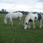 Horses grazing on :Llangorse Common