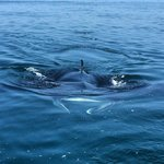 Manta on the whale shark tour