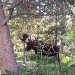 This moose was 15 feet from our camper.