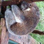 Sleeping Koala 2