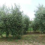 Olives Trees