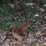 cute and playful coatis!