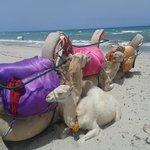 cammelli in spiaggia