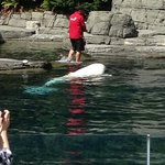A trainer working with a beluga whale during an afternoon show
