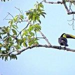 Chesnut manbled toucan