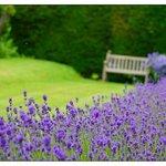 Beautiful lavender border