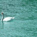 il lago ed i suoi cigni