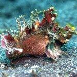 Weedy Rhinopia