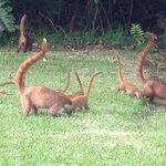 Coatis- had cute little young ones