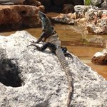 Resident iguana- fun to watch