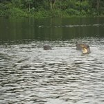 Giant Otters next to our canoe