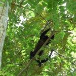 Howler monkeys in the trees.
