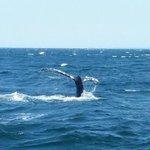 A whale Lobtailing