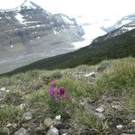 Wildflower & Saskatchewan Glacier