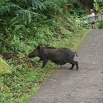 feral pig crossing the walk
