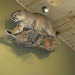 Mountain lion at Jimmers