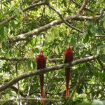 Two scarlet macaws viewed from the trail