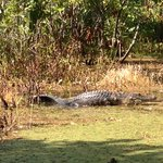 One of the alligators spotted during the tour