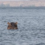 The hippos were amiable enough, but the guide kept the boat out of the way!