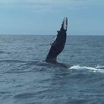 whales off gold coast