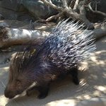 A very large and close Indian crested porcupine