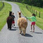 ava walking the alpacas