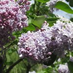 Smell the lilacs!!