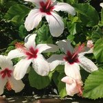 hibiscus près de la piscine