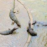 Water Lizards