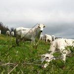 Le Mucche chianine al pascolo