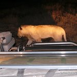 A lioness passing withing meters of our vehicle on a night safari.